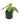 Aphelandra Zebra Plant