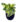 Peperomia variegated